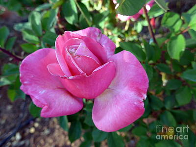 Photograph - Sedona Rose by Marlene Rose Besso