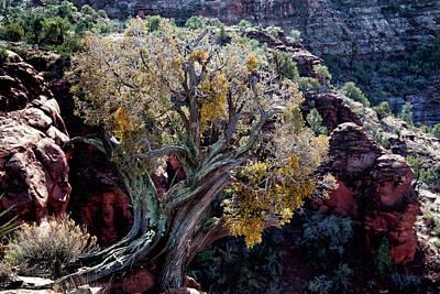 Sedona Tree #2 Art Print