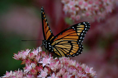 Photograph - Sedum Butterfly by Melissa Lane
