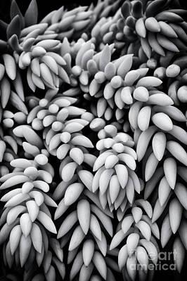 Burros Photograph - Sedum Morganianum Abstract by Tim Gainey
