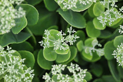 Photograph - Sedum Pre-bloom by Shari Jardina