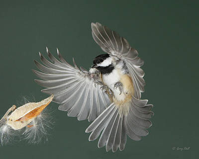 Photograph - See How Pretty My Feathers Are by Gerry Sibell