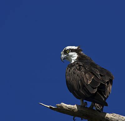 Osprey Florida Photograph - See No Evil by Evelina Kremsdorf