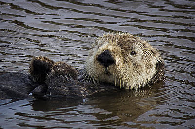 Photograph - See Otter Posing by Morgan Wright