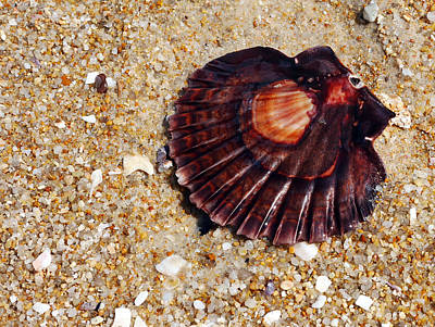 Photograph - Hazzards Beach Sea Shell 2 by Lexa Harpell