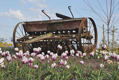 Seed Drill Tulips Print by Brent Easley