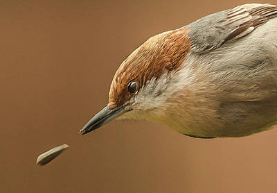 Photograph - Seed Evades Nuthatch by Jim Moore