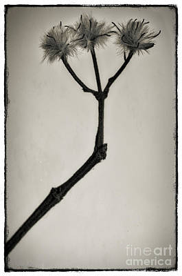 Fluffy Photograph - Seed Heads. by Robert Brown