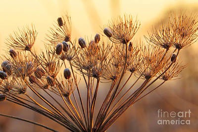 Photograph - Seed Pods by Frank Townsley