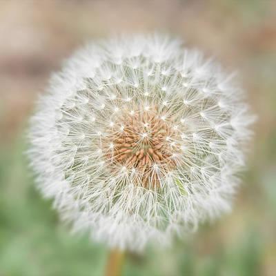 Photograph - Seedhead Of Dandelion. by Usha Peddamatham