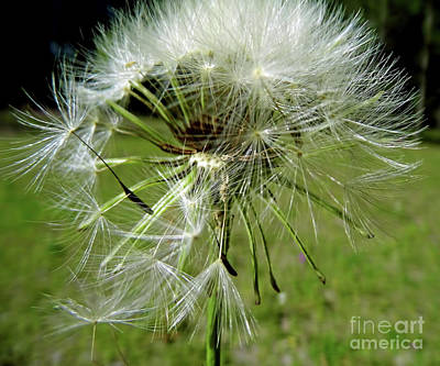 Nature Photograph - Seeds In The Wind by D Hackett
