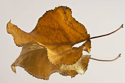 Seeing Double Autumn Leaf  Art Print by Sandra Foster