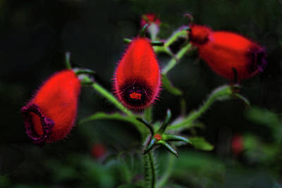 Red Photograph - Seemannia Purpurascens by HH Photography of Florida