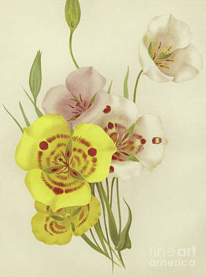 Lilies Drawing - Sego Lily   Calochortus by English School