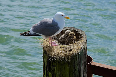 Photograph - Seagull Family by Richard J Cassato