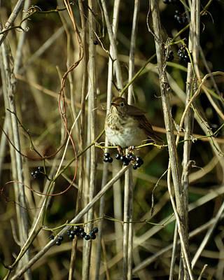 Photograph - Seiurus Aurocapillus Ovenbird  by Rebecca Sherman