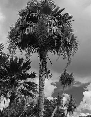Photograph - Selby Garden Palms by Susan Molnar