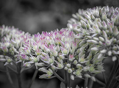 Photograph - Selective Color Sedum by Keith Smith