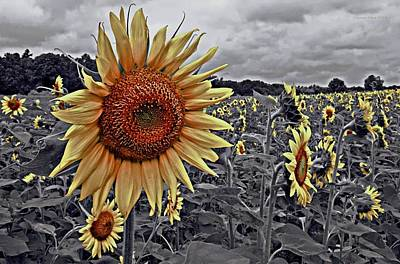 Photograph - Selective Color Sunflowers by Suzanne Stout
