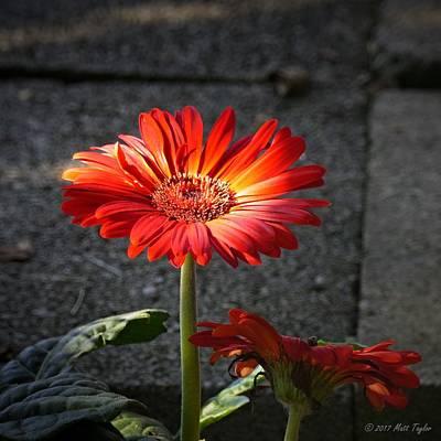 Photograph - Self Illuminating Gerbera Daisy by Matt Taylor