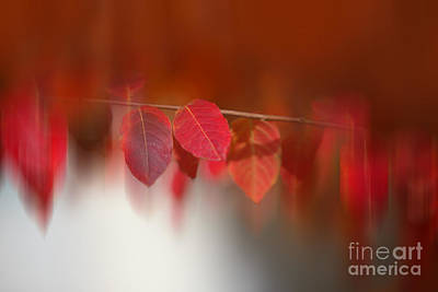 Semi Abstract Red Leaves Original by Linda Phelps