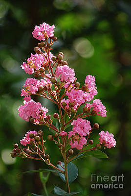 Photograph - Seminole Crape Myrtle 20130901_160 by Tina Hopkins