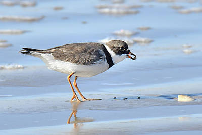 Photograph - Semipalmated Plover by Alan Lenk