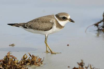 Photograph - Semipalmated Plover And Sargassum by Bradford Martin