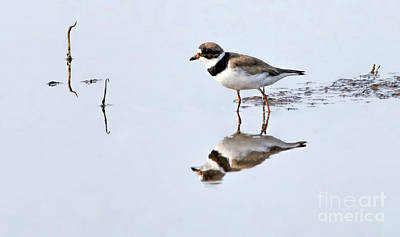 Photograph - Semipalmated Plover by Elizabeth Winter
