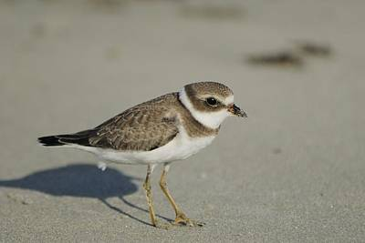 Photograph - Semipalmated Plover On Beach by Bradford Martin