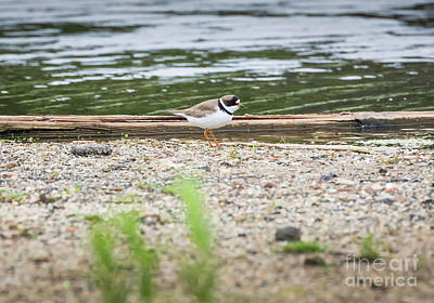 Photograph - Semipalmated Plover by Ricky L Jones