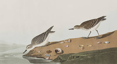 Sandpiper Drawing - Semipalmated Sandpiper by John James Audubon