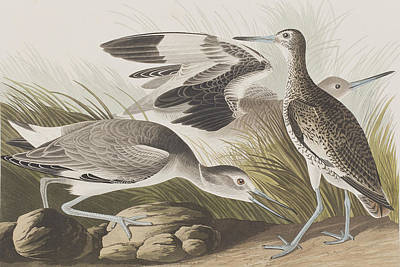 Grass Rocks Painting - Semipalmated Snipe Or Willet by John James Audubon