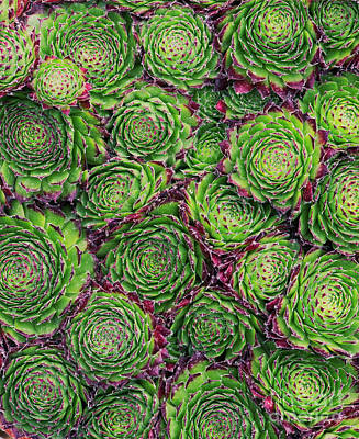Photograph - Sempervivum Chrysanthemum Pattern by Tim Gainey