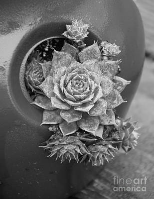 Photograph - Sempervivum Hen And Chicks by Jennifer E Doll