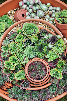 Chicks And Hens Photograph - Sempervivum Pattern by Tim Gainey