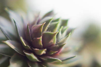 Photograph - Sempervivum Prickles by Scott Lyons