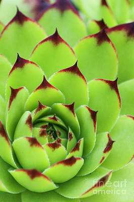 Photograph - Sempervivum Tectorum Royanum by Tim Gainey