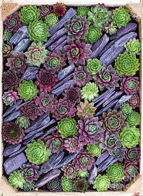 Hens And Chicks Photograph - Sempervivums Pattern by Tim Gainey