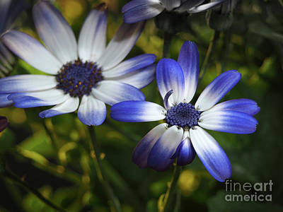 Senetti On A Warm Spring Day Art Print