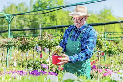 Photograph - Senior Gardener Choosing A Potted Plant. by Michal Bednarek
