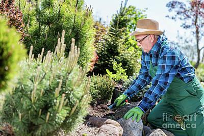 Senior Gardener Digging In A Garden. Art Print