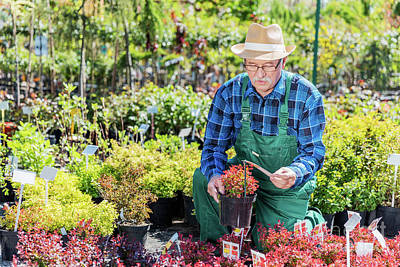 Photograph - Senior Gardener Selecting A Plant In A Nursery. by Michal Bednarek