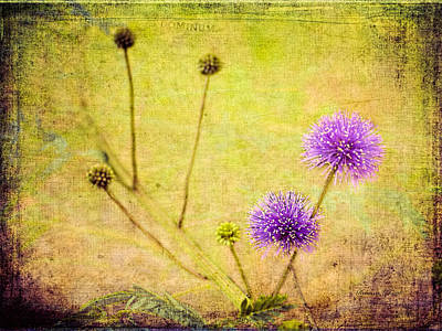 Mimosa Flowers Photograph - Sensitive Briar Flowers by Bellesouth Studio