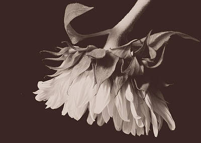 Photograph - Sensual Sunflower On Black by Joni Eskridge
