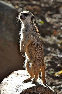 Meerkat Wall Art - Photograph - Sentry by Jan Amiss Photography