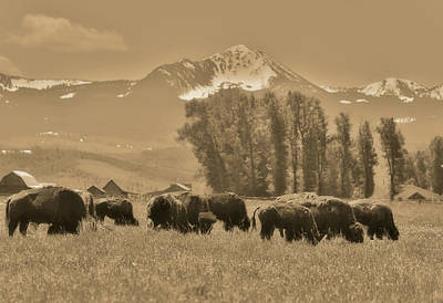 Photograph - Sepia Bison Herd In Jackson Hole by Dan Sproul