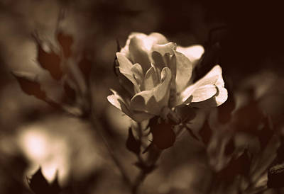 Photograph - Sepia Blossom by Jessica Jenney