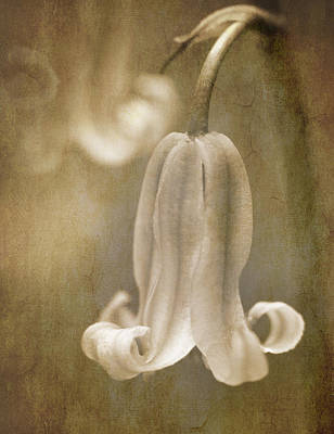 Flower Blooms Photograph - Sepia Bluebell by Meirion Matthias