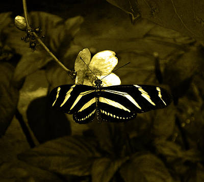 Photograph - Sepia Butterfly And Flower by Laura Greco
